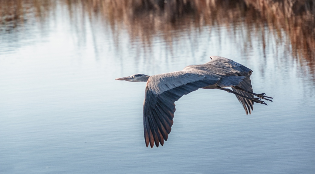 Surprise Heron - click to enlarge
