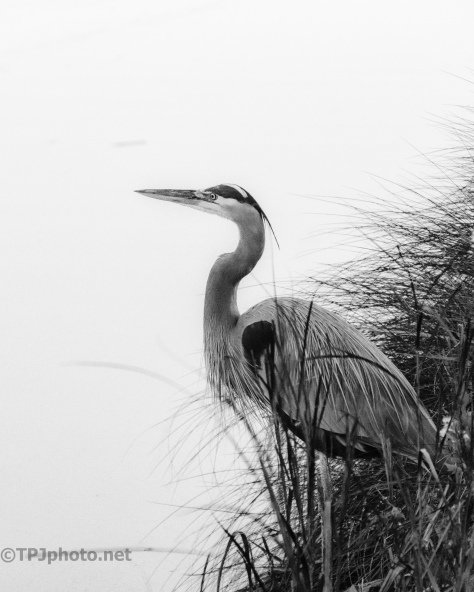Great Blue On The Shore, Black And White - click to enlarge