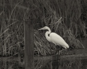 Accommodating Great Egret - click to enlarge