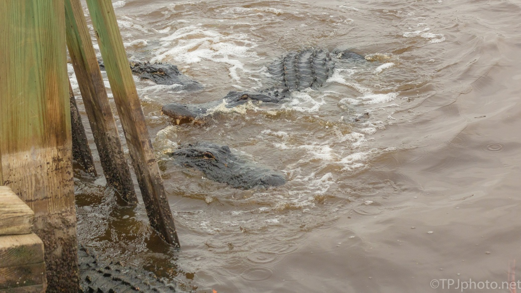 There Was A Lot Of Chewing, Alligator - click to enlarge