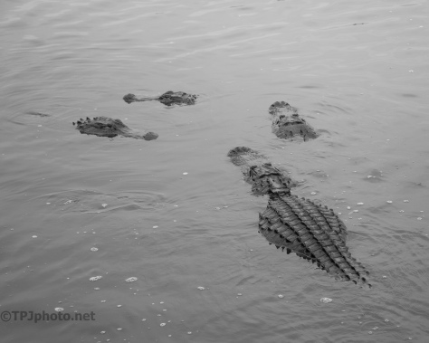 Just Swimming In Circles, Alligator - click to enlarge
