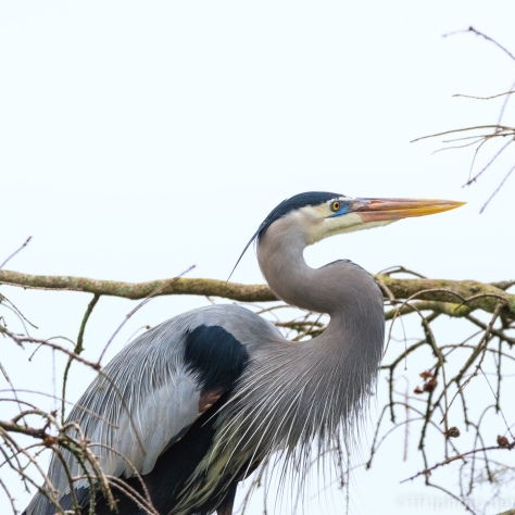 First Heron Portrait 2019 - click to enlarge