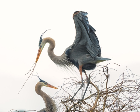 Great Blue Herons Starting To Pair - click to enlarge