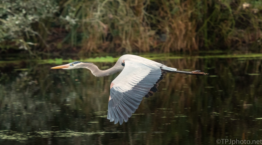 Great Blue Heron Low In A Swamp - click to enlarge