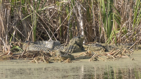 Alligator, How Many Though ? - click to enlarge