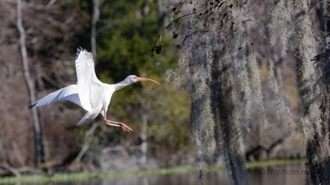 Ibis Flying To A Cypress - click to enlarge