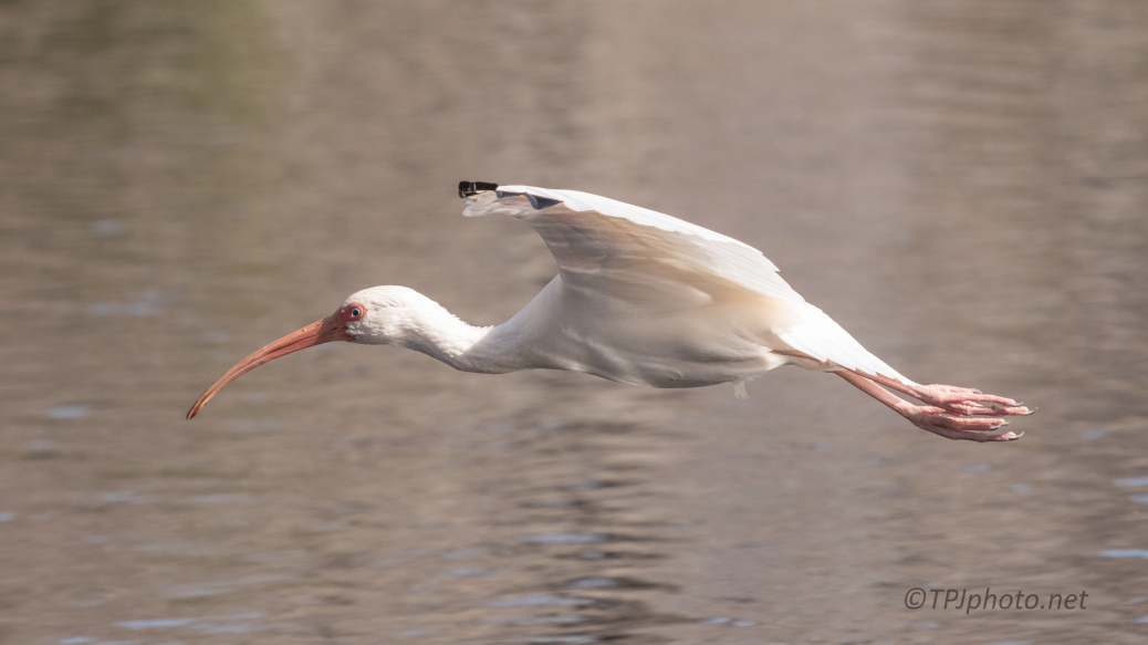 Another Quick Ibis - click to enlarge