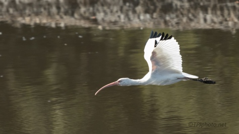 Ibis Over A Low Water Marsh - click to enlarge