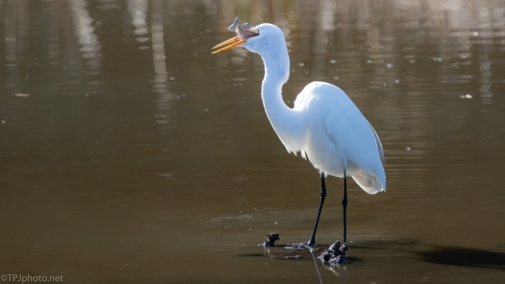 Great Egret Working A Fish - click to enlarge
