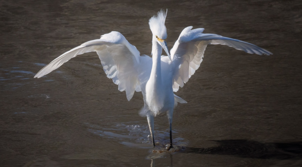 Snowy Egret, Not Very Happy - click to enlarge
