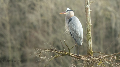 Solitary Heron, Waiting For Last Years Mate To Return - click to enlarge