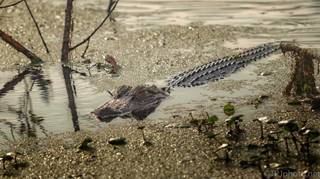 No Movement, No Sound, Alligator - click to enlarge
