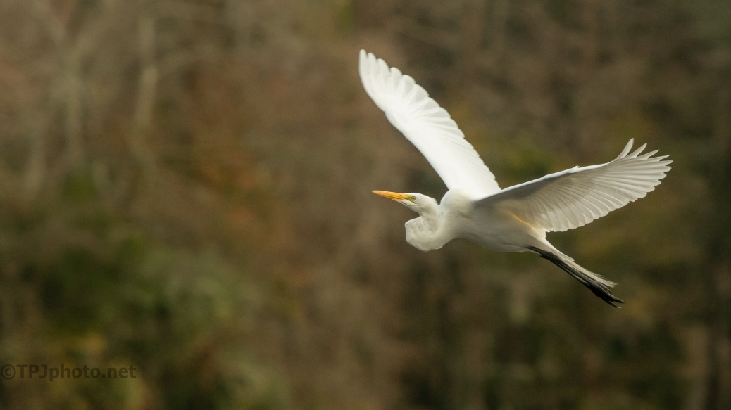 Great Egret Heading Towards A Rival - click to enlarge