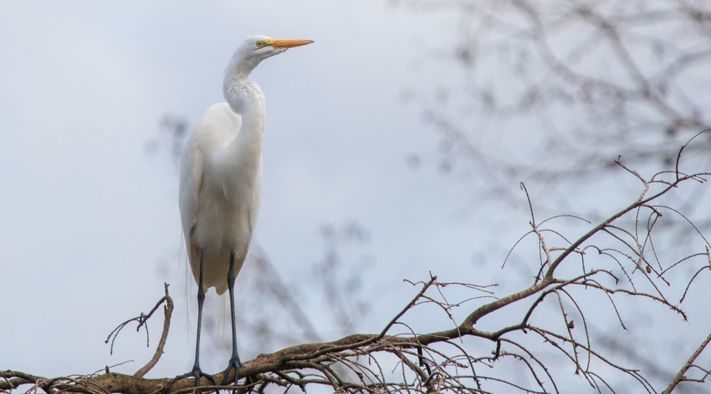 Early Arrival, Egret - click to enlarge