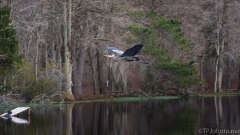 Late Day Stick Collecting, Great Blue Heron - click to enlarge