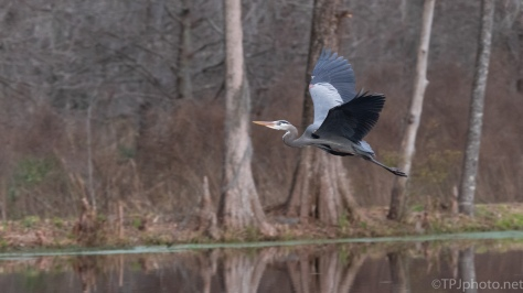 Heron Hunting The Perfect Stick - click to enlarge