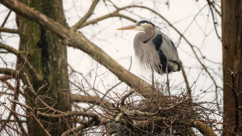 The Beginning Of House Keeping, Heron - click to enlarge