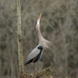 Calling For A Mate, Male Great Blue Heron - click to enlarge