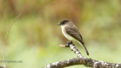 Small Eastern Phoebe - click to enlarge