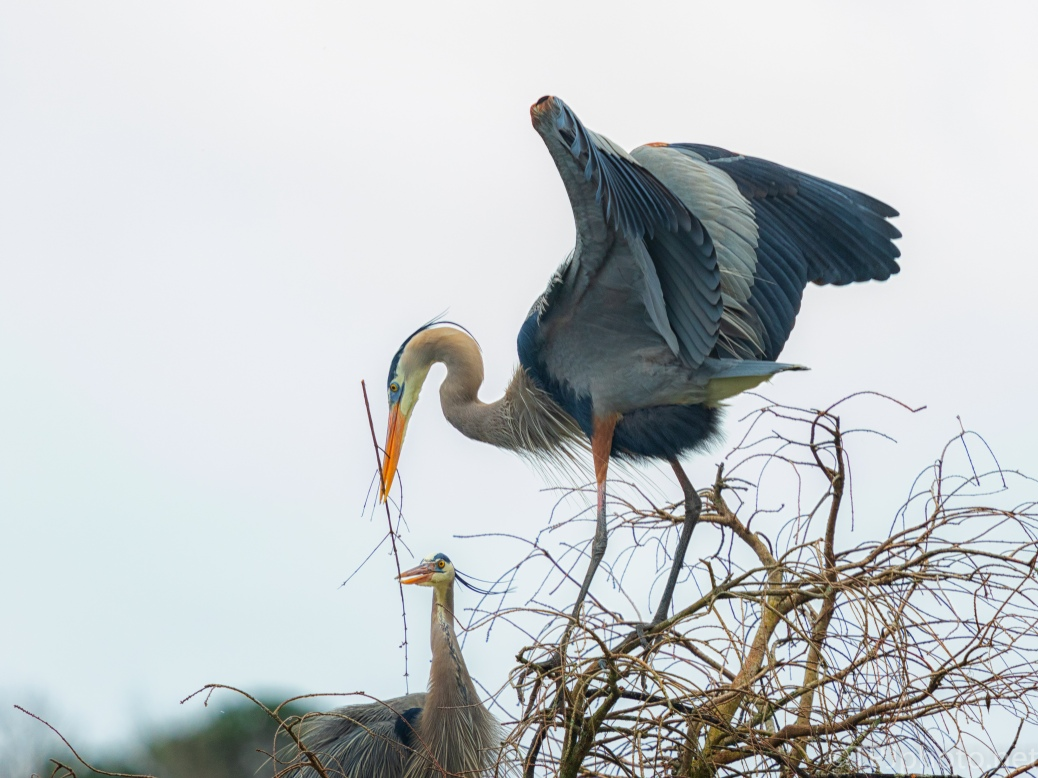Working As A Team, Herons - click to enlarge