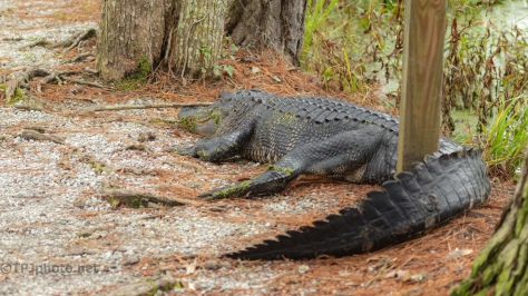 Sharing Space With A Silly Gator - click to enlarge