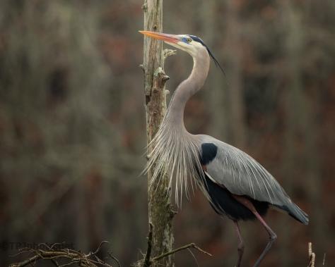 Heron Portrait - click to enlarge