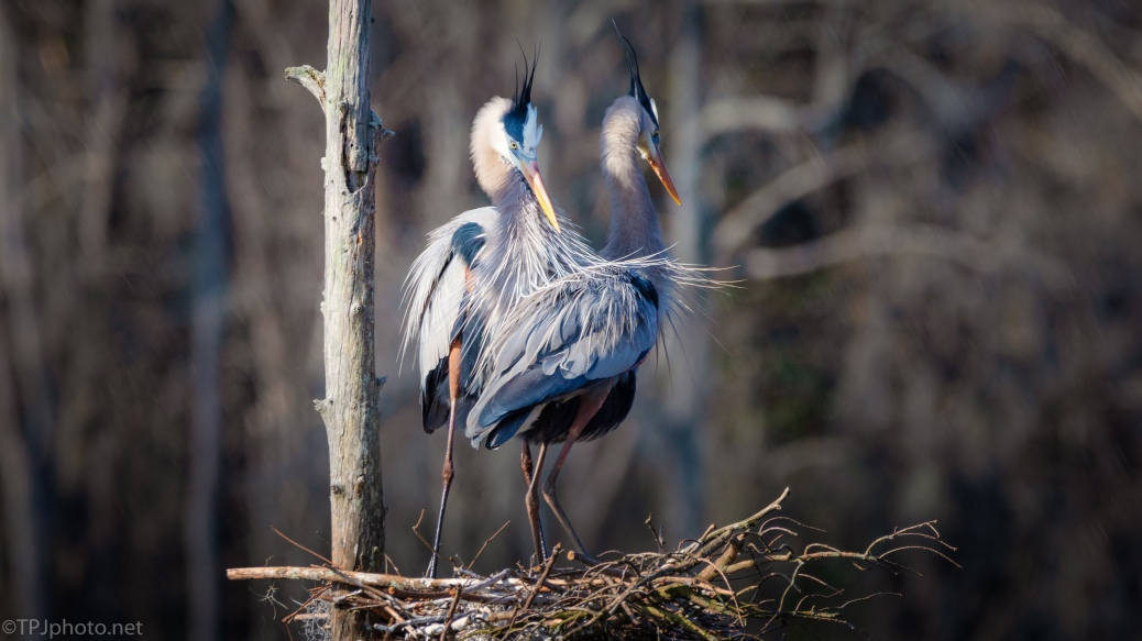A Mated Pair, Great Blue Heron - click to enlarge