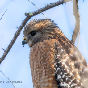A Red-Shouldered Kind Of Day - click to enlarge