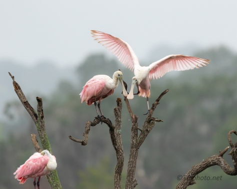 Spoonbills, Wet Chilly Day - click to enlarge