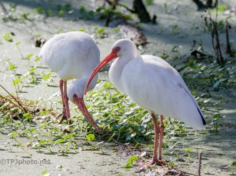 Ibis, Digging Around - click to enlarge