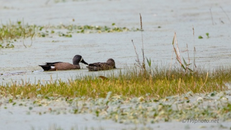 Blue Wing Teal In The Duck Weed - click to enlarge