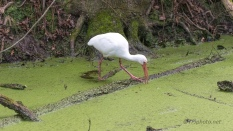White Ibis Mucking Around - click to enlarge