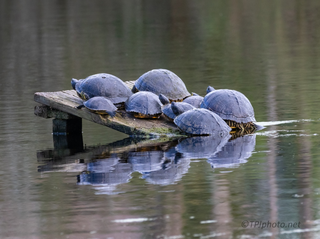 A Turtle Convention - click to enlarge