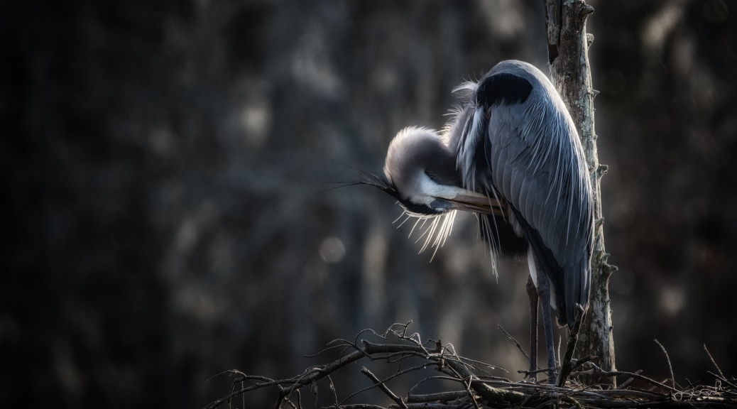 Portrait Of A Great Blue - click to enlarge