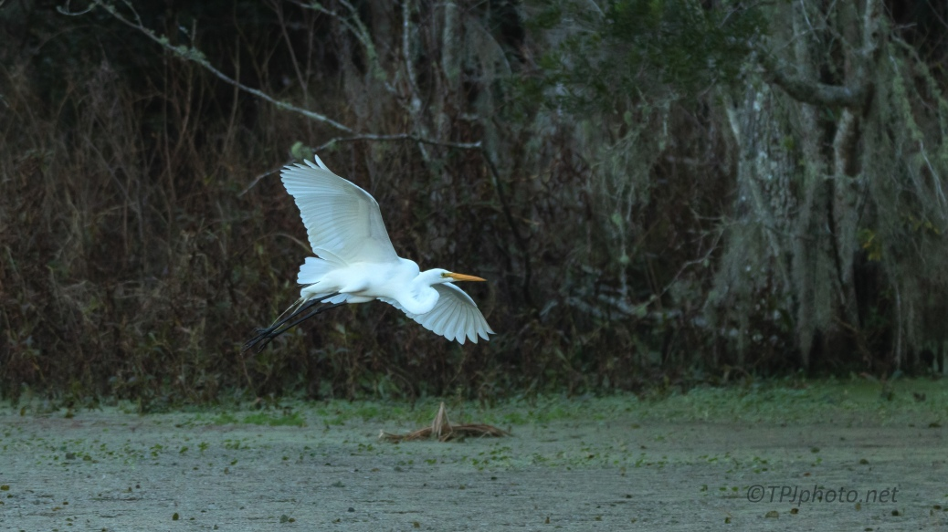 Evening Egret Flight - click to enlarge