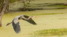 Shallow Water Swamp, Great Blue Heron - click to enlarge