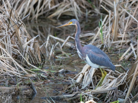 Deep In The Reeds, Tricolored Heron - click to enlarge