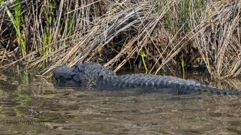 Some Sun And The Gators Woke Up - click to enlarge