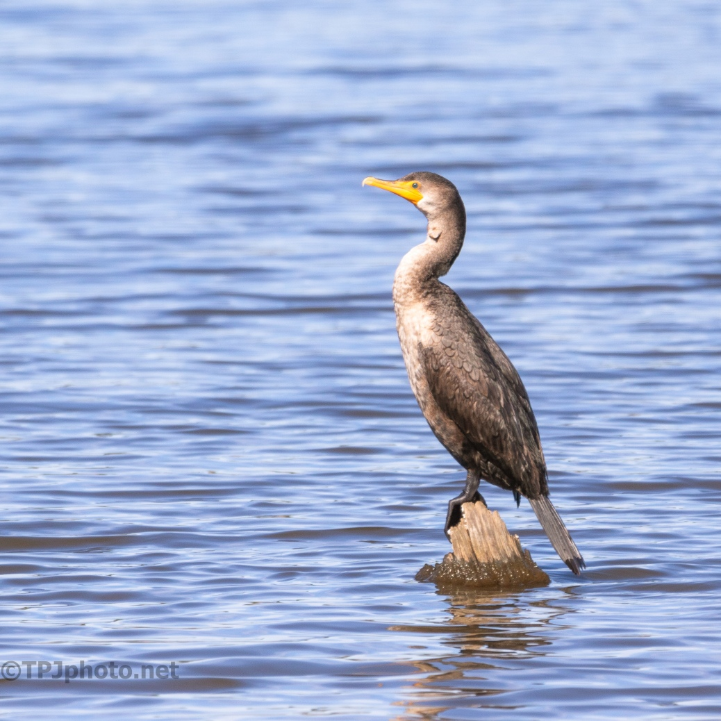 The Only Dry Spot, Cormorant - click to enlarge