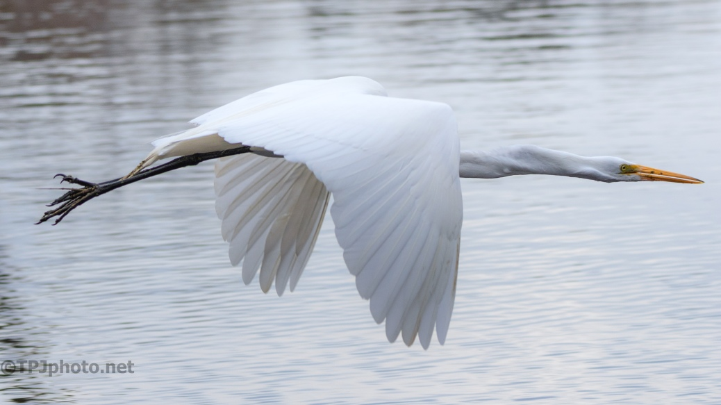 Perfect (almost) Photo Op, Egret - click to enlarge