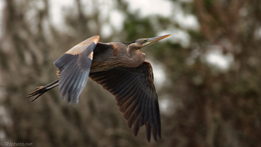 Surprise Home Coming, Heron - click to enlarge