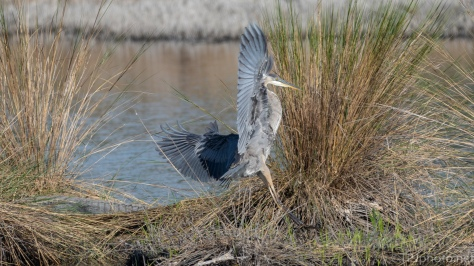 Look To The Left, That Was Close, Heron - click to enlarge