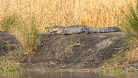 Getting The Last Sun, Alligator - click to enlarge