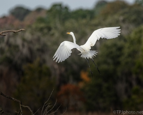 Great Egret Moving To A Tree - click to enlarge