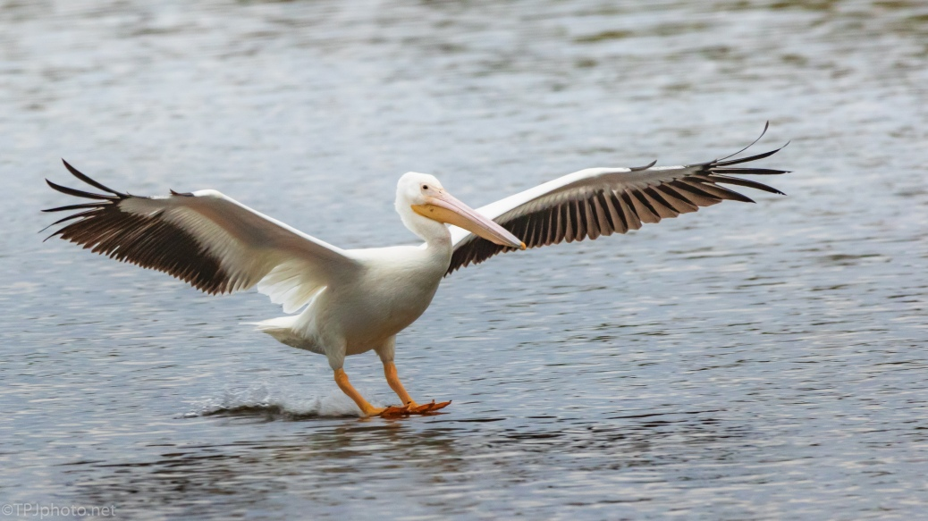 Sliding To A Stop, Pelican - click to enlarge