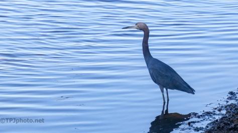 Little Blue Heron At Dusk - click to enlarge