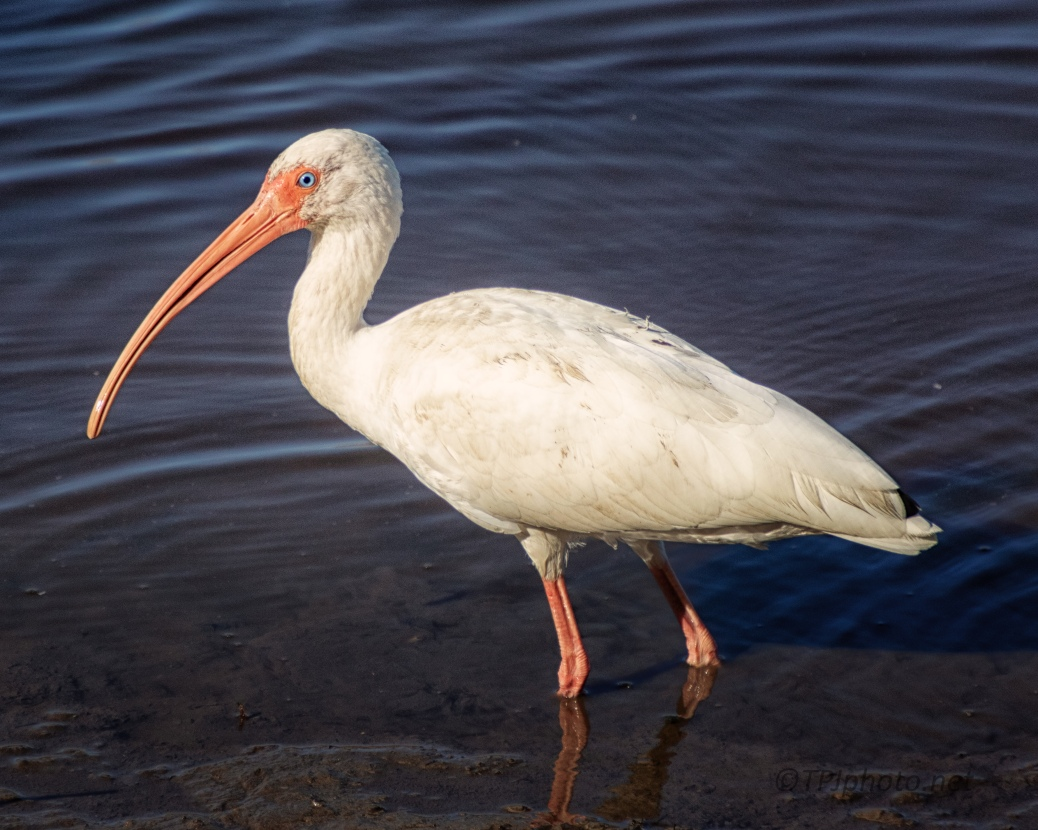 Close To An Ibis - click to enlarge
