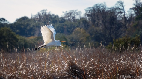 Flying Just Above The Marsh Grasses, Egret - click to enlarge