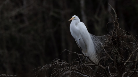 Great Egret, Start Of Breeding Plumage - click to enlarge