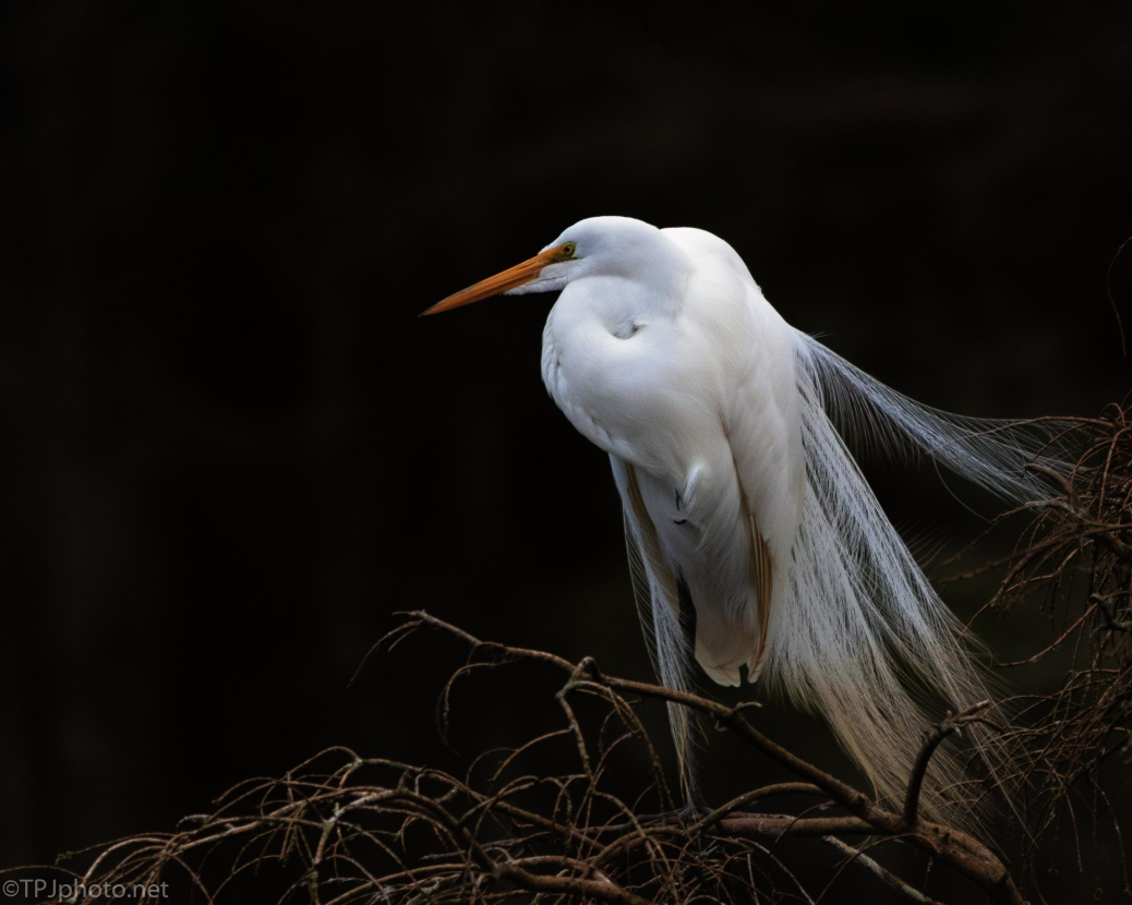 Great Egret Showing The Bridal Feathers - click to enlarge